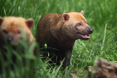 Bush dog Royalty Free Stock Images