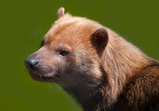 Bush Dog Stock Photography