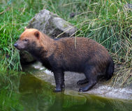 Bush Dog Stock Image