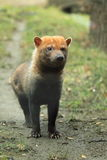 Bush dog Stock Images