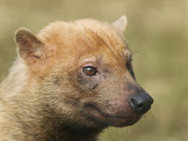 Bush dog. Portrait of rare canis species - bush-dog Royalty Free Stock Photo