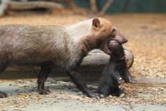 Bush dog. The adult bush dog bearing her offspring royalty free stock photography