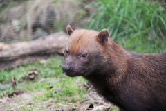 Bush dog close up Royalty Free Stock Photos
