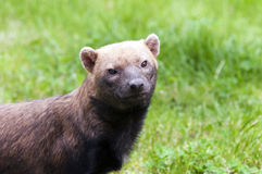 Bush dog Stock Photo