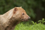 Bush dog Stock Photos