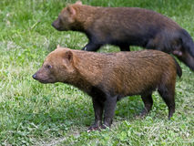 Bush dog 1 Stock Photos