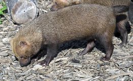 Bush dog 2 Stock Photography