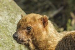 Bush dog portrait Stock Photography