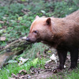 Bush dog profile close up Stock Photos