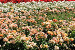 Bush of dog rose flowers Stock Images