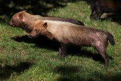 Bush dog (Speothos venaticus) Royalty Free Stock Photo