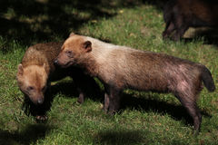 Bush dog (Speothos venaticus) Stock Photo
