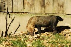 Bush dog speothos venaticus Stock Images