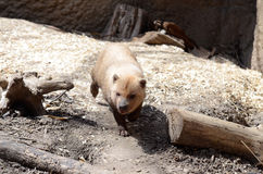 Bush dog Royalty Free Stock Photos