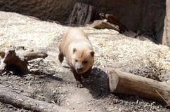 Bush dog. A bush dog walks among some logs Royalty Free Stock Photos