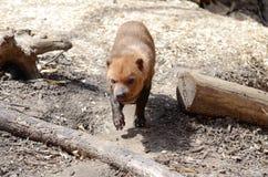 Bush dog2. A bush dog walks among some logs Royalty Free Stock Photos