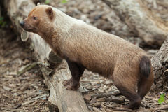 Bush dog (Speothos venaticus). Stock Photos