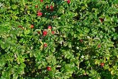 Bush dogrose Royalty Free Stock Photo