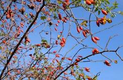 Куст бедер со зрелыми ягодами Ягоды dogrose на кусте Fru стоковое изображение rf