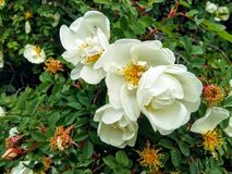 A bush of a dogrose. A bush of a dogrose with white flowers, generously pleasing surrounding with the riches Royalty Free Stock Image