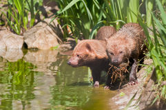 Bush Dogs Stock Image
