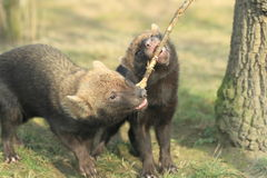 Bush dogs Stock Photo