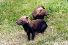 Bush dogs. A shot of two bush dogs. (Called also vinegar dog, vinegar fox or water dog Royalty Free Stock Photos