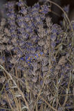 Bush with dried lavender. Close up royalty free stock photo