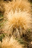 A bush of dry grass in the park.  Stock Image