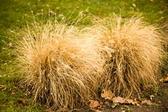 A bush of dry grass in the park.  Stock Images
