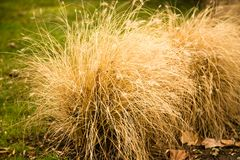 A bush of dry grass in the park.  Royalty Free Stock Photo