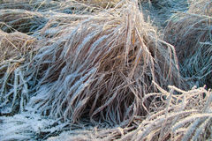 Bush dry grass. Vegetation after a frosty night in the morning sun Stock Image