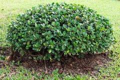 Bush drzewo Obrazy Royalty Free