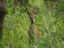Bush duiker Royalty Free Stock Images