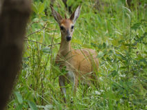 Bush duiker Royalty Free Stock Photo