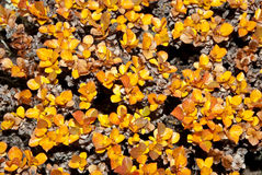 Bush dwarf birch Stock Image