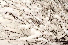 Bush of a dwarf polar birch, background. Bush of a dwarf polar birch covered by fluffy snow, background Stock Images