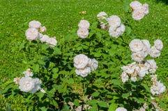 Bush dzika biel róża Fotografia Stock
