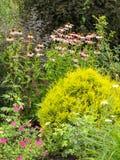 Bush Echinacea purpurea among other plants in the garden Stock Photo