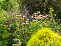 Bush Echinacea purpurea among other plants in the garden. Royalty Free Stock Images