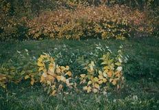 Bush ed arbusto durante l'autunno e la caduta immagini stock libere da diritti