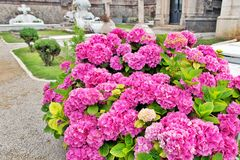 Bush einer rosa Hortensie am Kirchhof lizenzfreies stockfoto