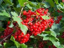Bush eines roten currant.grows in einem Garten Stockbilder