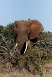 Bush-Elefant mit seinem Stamm um die Niederlassungen Lizenzfreie Stockfotos