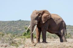 Bush elefantanseende med hans stora bete Arkivfoton