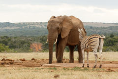 Bush Elephant checking out the Zebra Royalty Free Stock Images