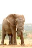 Bush Elephant - Don`t look at me Stock Photo