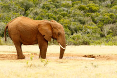 Bush Elephant drinking water with his mouth open royalty free stock photography