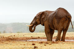 Bush Elephant with his feet in the dam Royalty Free Stock Images