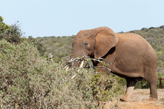 Bush Elephant with his tusks in the branches Royalty Free Stock Images